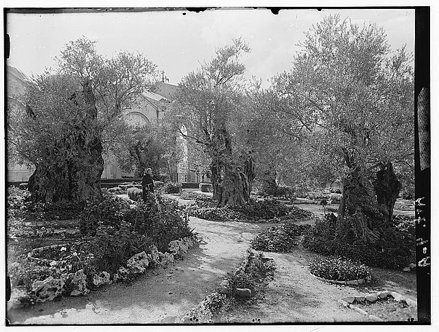 Garden of Gethsemane, inside enclosure