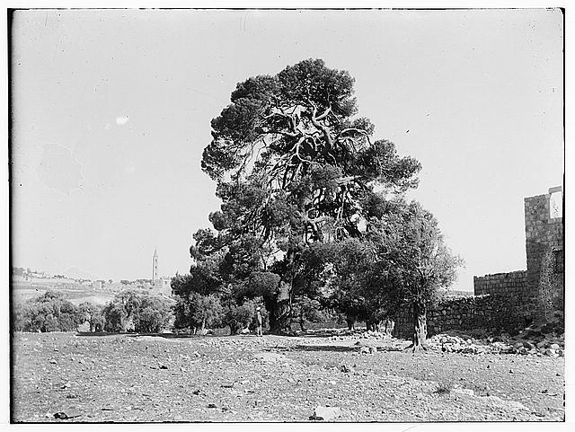 Prince of Wales Tree near Palestine Museum