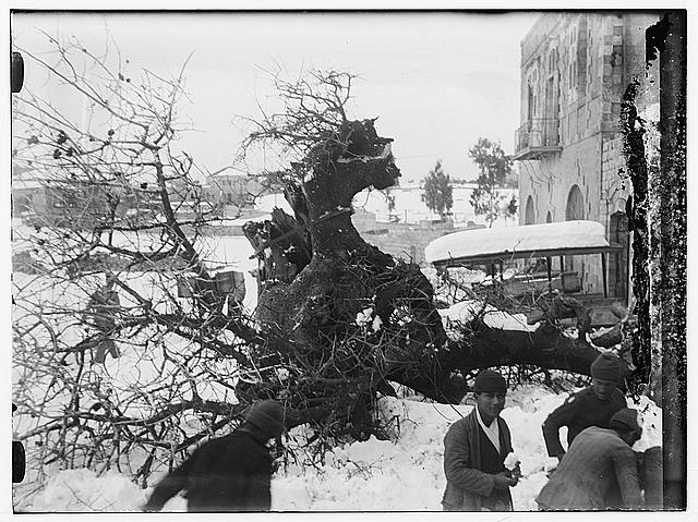 Snow in Jerusalem, 1921. Fallen tree