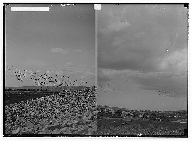 The terrible plague of locusts in Palestine, March-June 1915. Storks in pursuit of the locusts; [Another view of storks in pursuit of locusts].