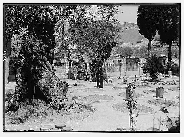The terrible plague of locusts in Palestine, March-June 1915. The same garden [Garden of Gethsemane] after a visitation by the locusts.