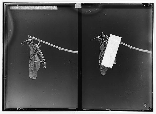 The terrible plague of locusts in Palestine, March-June 1915. Carefully drying the wings.