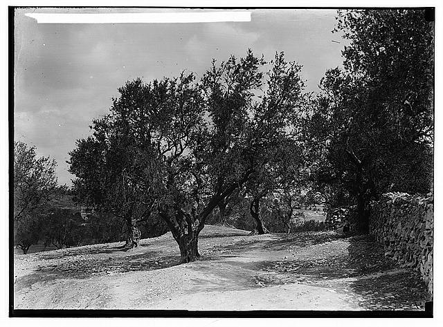 The terrible plague of locusts in Palestine, March-June 1915. Olive grove with new leaves after two months.