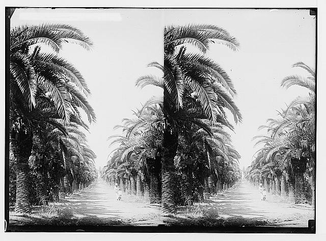 Jewish colonies and settlements. Richon le Zion. Avenue of date palms in Richon