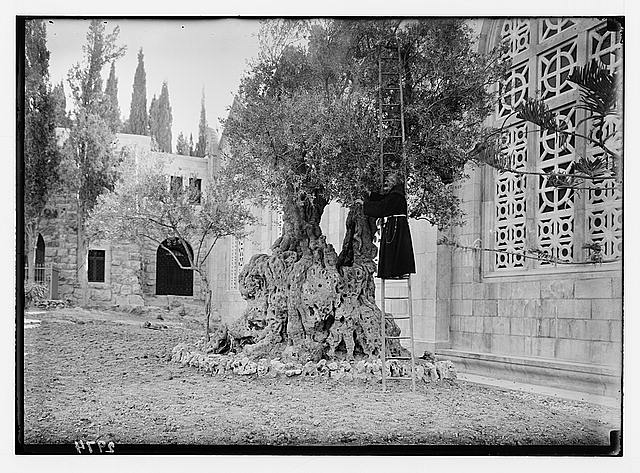 Mount of Olives and Gethsemane. Tree of Agony. Monk picking olives