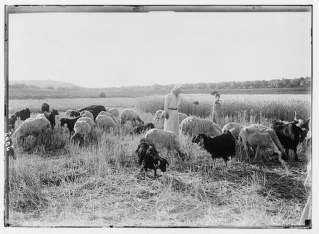 Bethlehem and surroundings. Flocks in the Field of Boaz. Sheep in harvested fields. Standing grain in background