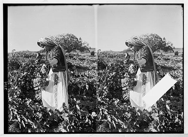 Girl of Ramallah picking grapes in vineyard near Taibeh [i.e., Taybeh]. Sept. 1937