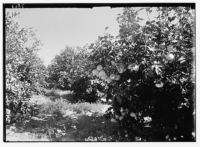 Grapefruit trees in a Rehovoth orchard