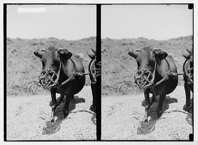 Costumes, characters, etc. Muzzled cow used for threshing