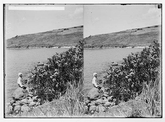 Oleanders.  Palestine.  1900-1920.