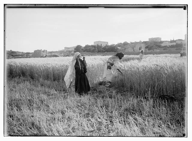Harvesting and threshing floor scenes in the story of Ruth & Boaz