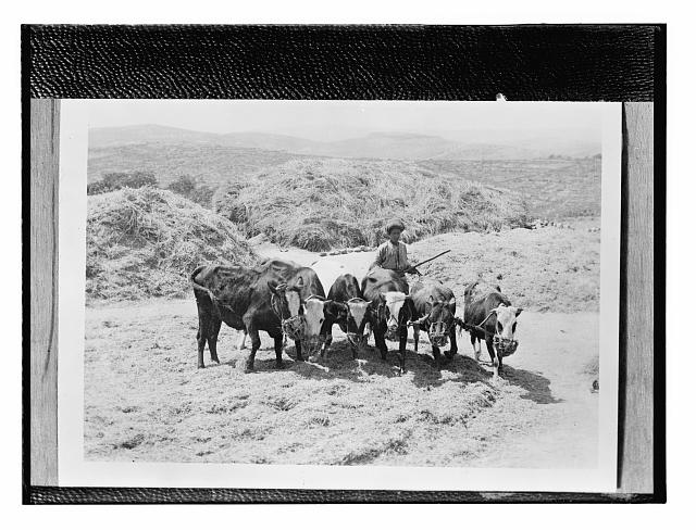 [Copy of a photograph of a man with oxen]