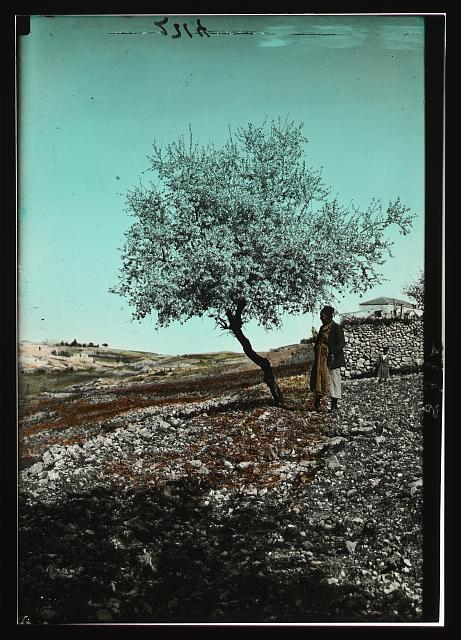 Wild flowers of Palestine. Almond tree in blossom (Amygdalus communis L.)