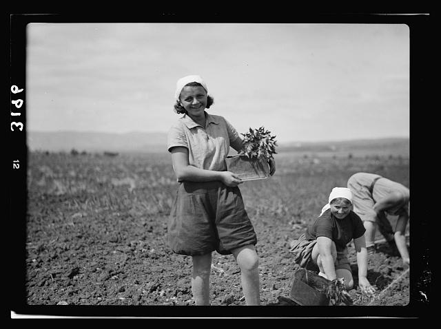 Nahalal. Girls' Agricultural Training School. Putting in tomato plants showing typical dress, head-scarf, middy, and bloomers