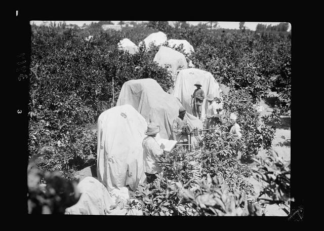 Agriculture, etc. Fumigating orange groves at Jaffa showing trees enclosed with tarpaulins