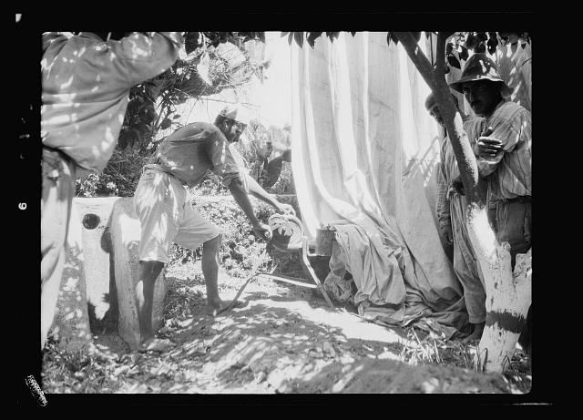 Agriculture, etc. Disinfecting orange trees. Enclosed under tarpaulins [Jaffa]