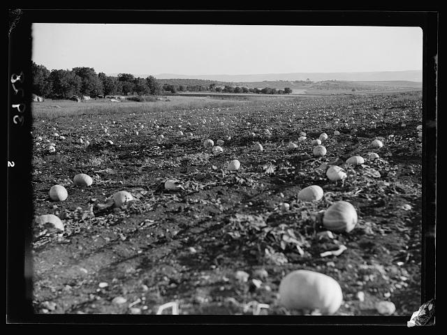 Agriculture, etc. Field of pumpkins near Bethlehem of Galilee
