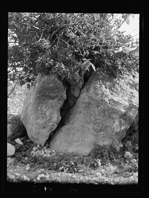 Agriculture, etc. Growth of a fig tree cleaving a great rock taken in Wadi Shaib, Transjordan