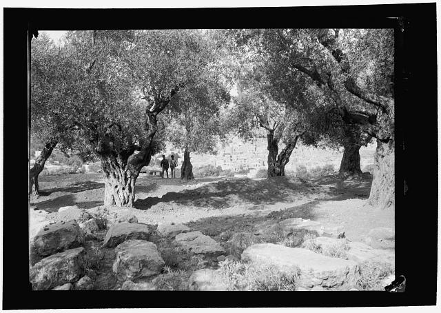 Palestine events. The 1929 riots, August 23 to 31. Jewish graves of riot victims. Large common graves under olive trees, Hebron