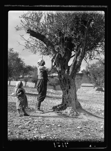 Trimming olive trees in Palestine