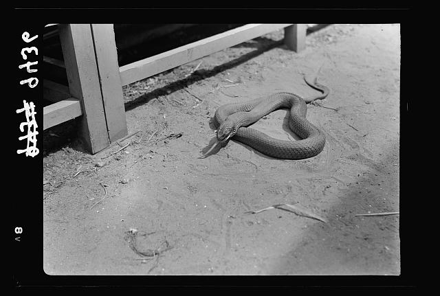 Tel Aviv Zoo. Rat, except for tail, disappeard in mouth of snake