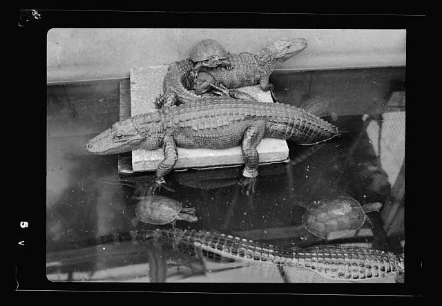 Tel Aviv Zoo. [Crocodiles and turtle in tank]