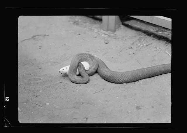 Tel Aviv Zoo. [Rat caught by snake and squeezed to death]