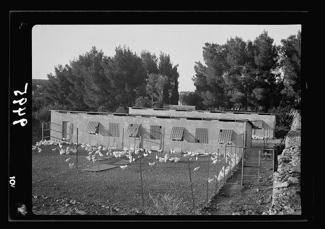 The Bethlehem Poultry Farm. (Esan Safieh). Gen[eral] view of poultry farm, showing alfalfa beds on left & bee hives on right, closer view