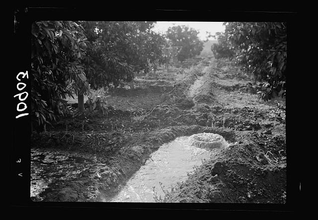 Orange culture at Richon-le-Zion. Modern method of irrigation in orange orchard (underground piping)