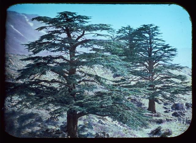 Cedar grove. Cedars of Lebanon. Two of the tall giants
