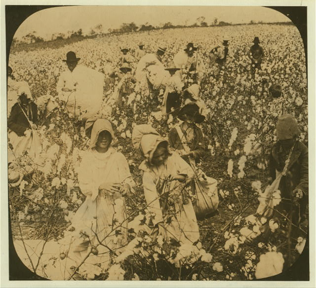 [A picture of a cotton field]