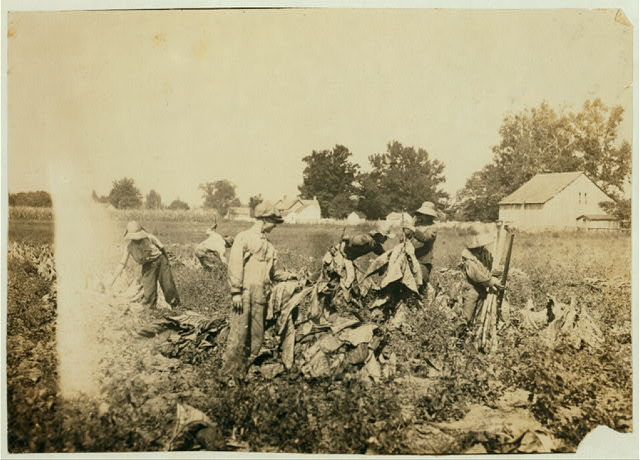 Group gathering tobacco on farm of Daniel Barrett, Spottsville, Ky., Star Route. He is a renter. Boys all belong to other families and will go to Bluff City School, Div. 2, Henderson Co. when work is over. School opened 2 weeks ago, and the boys expect to be out several weeks more. 10-years old boy, Edward Goldsberry carries and drops the sticks. 11-years old Aubrey Hazeland is piling the tobacco (in front). 13-year old Dolph Hazeland piling (behind Aubrey), and 14-years old Willie Goldsberry is spiking the tobacco.  Location: Spottsville, Kentucky