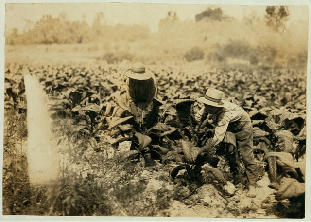 Hayward and Harry Bentley suckering the tobacco.  Location: Hebbardsville, Kentucky