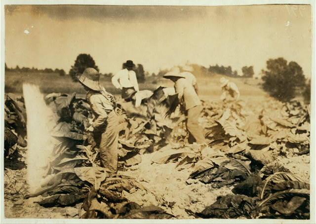 Cutting tobacco on farm of A.G.W. Gish, Route 3, Henderson. Boys 10, 13 and 15 years will all go to Niaara School, Div. 4, Henderson Co., when it opens next week. New building. The 2 younger boys belong to C.M. Gish. Both Gish families own their farms.  Location: Henderson, Kentucky