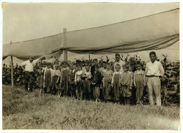 Young pickers in field, American Sumatra Tobacco Co. We found 34 boys from 9 to 15 years.  Location: Weatogue, Connecticut