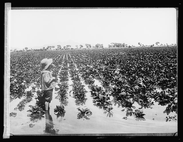 Salt River Project, [Arizona] 400 acres of sugar beets [...] desert land