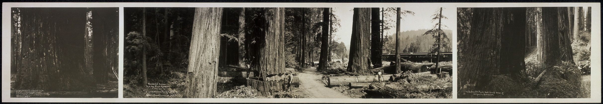 Wonderful scenes mid the giant redwood on the line of the Northwestern Pacific R.R.