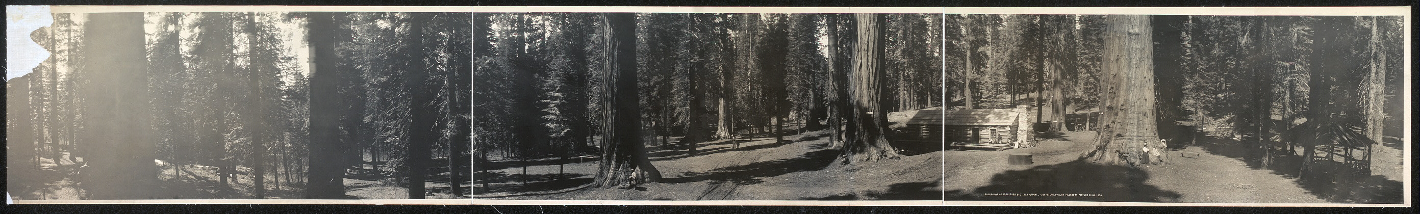 Panorama of Mariposa Big Tree Grove