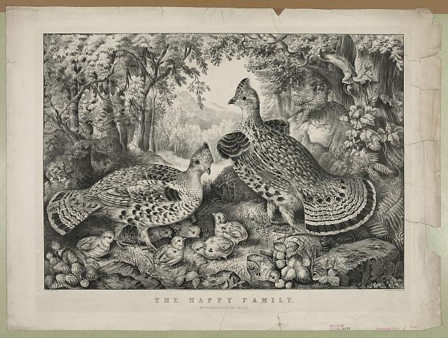 The happy family: ruffed grouse and young