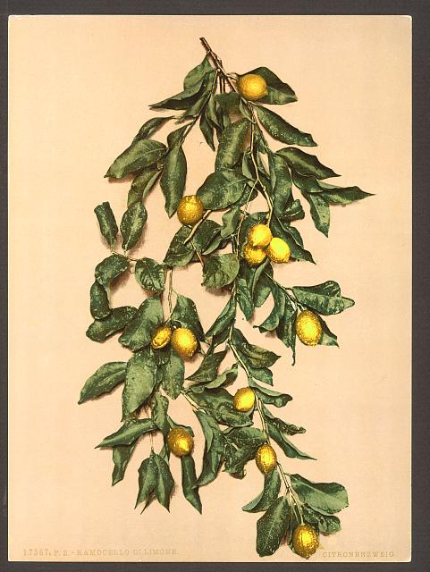A branch of lemons, Limone, Lake Garda, Italy.  Library of Congress.