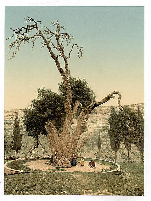 [Abraham's tree Mamreh, Hebron, Holy Land, (i.e., West Bank)]