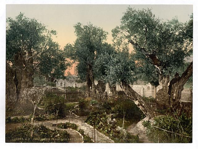 [Garden of Gethsemane, Jerusalem, Holy Land]