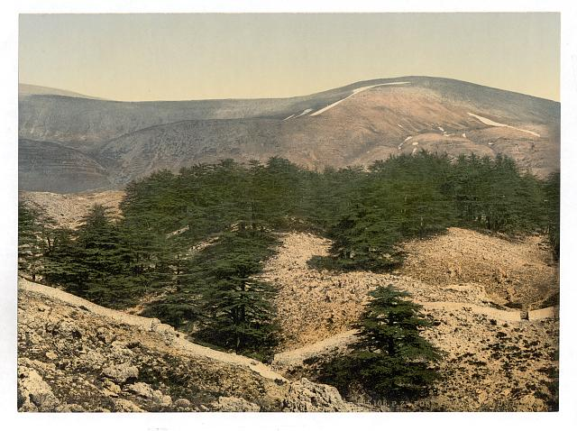 [General view of the cedars of Lebanon, Lebanon, Holy Land]