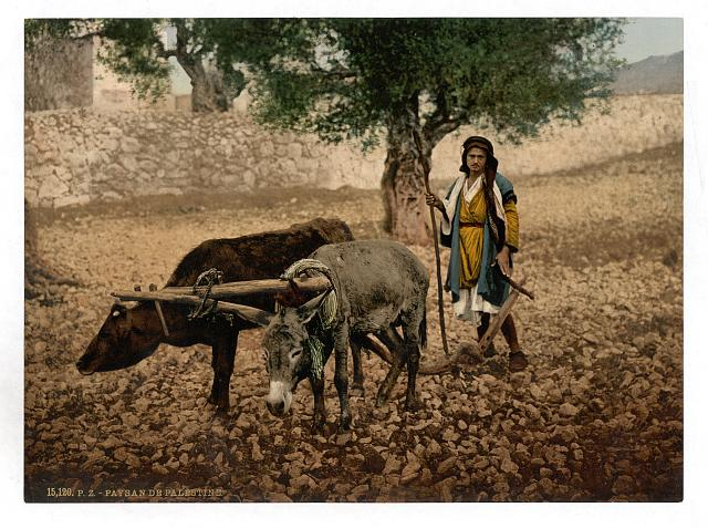 [Native of Palestine working with an ox and an ass, Holy Land]