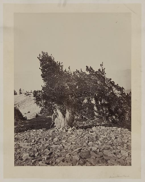 [Mountain pine tree, on Mount Shasta, Calif.]
