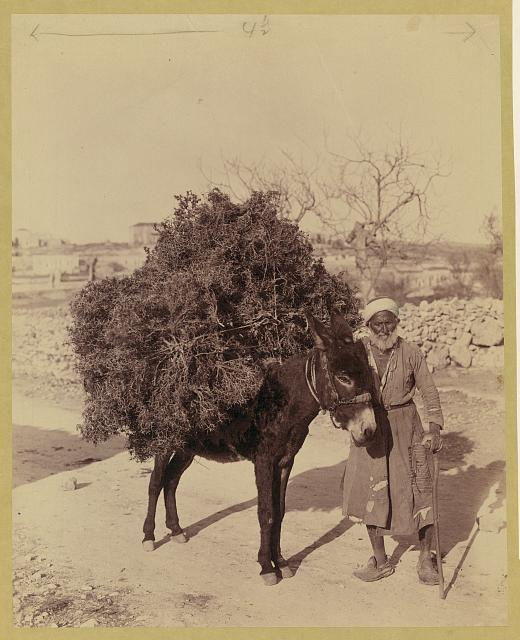 Palestine, transportation, donkey carrying load of roots and twigs for fuel