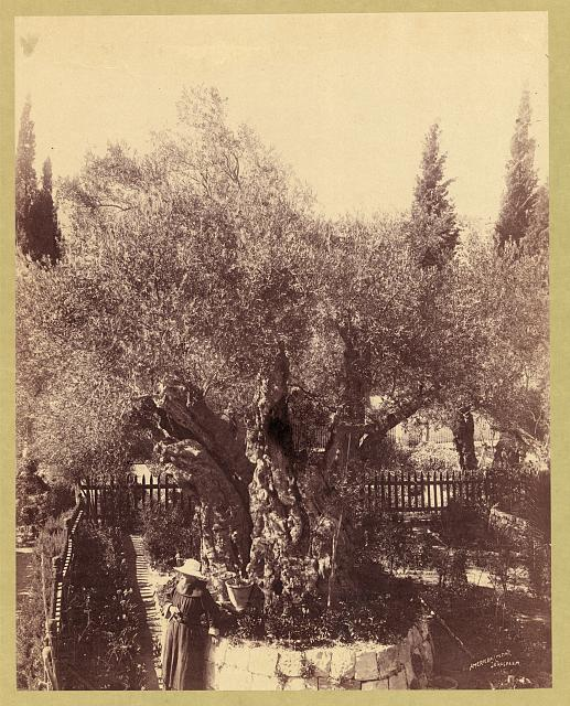 Ancient olive trees cared for by Franciscan monks, Palestine, Jerusalem, Garden of Gethsemane