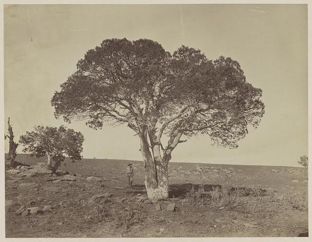 Oak grove, White Mountains, Sierra Blanca, Arizona, tree, 1873