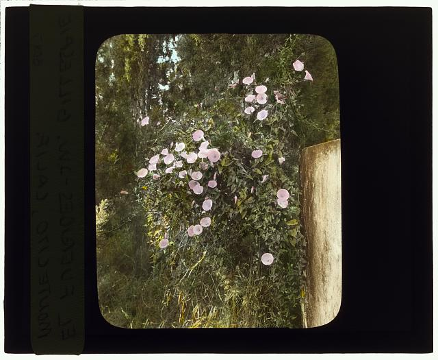 "[""El Fureidis,"" James Waldron Gillespie house, Parra Grande Lane, Montecito, California. Flowering vine on wall]"