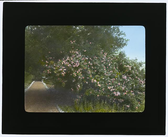 "[""Arcady,"" George Owen Knapp house, Sycamore Canyon Road, Montecito, California. Roses along pathway]"